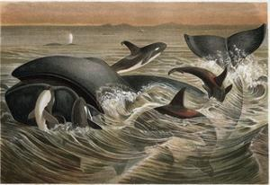 Whale and Orca by Alfred Edmund Brehm by Stefano Bianchetti