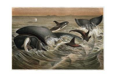 Whale and Orca by Alfred Edmund Brehm