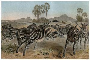 Zebras by Alfred Edmund Brehm by Stefano Bianchetti