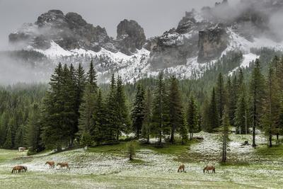 Horses Grazing in the Meadow Blanketed in Summer Snow, Dolomites, Alto Adige or South Tyrol, Italy