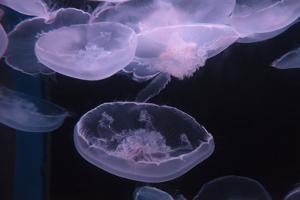 Moon Jellyfish, Aurelia Aurita by steffstarr
