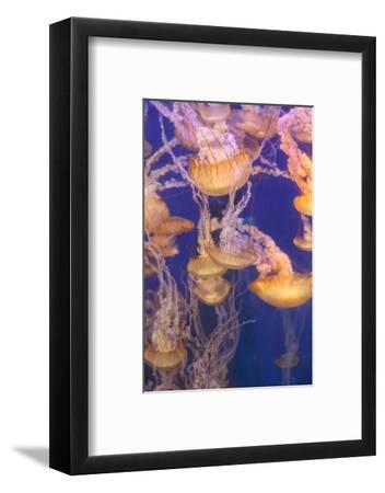 Pacific Sea Nettle Jellyfish, Chrysaora Fuscescens