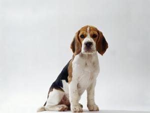 Beagle Puppy by Steimer