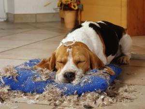 Beagle with Destroyed Pillow by Steimer