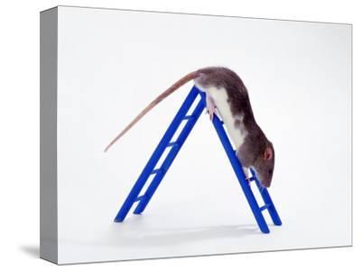 Domestic Rats at Play