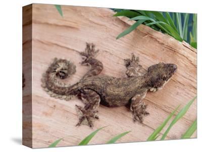 Flying Gecko