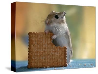 Gerbil Eating Biscuit
