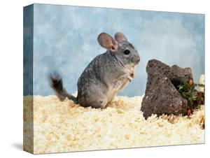 Long-Tailed Chinchilla at Play by Steimer