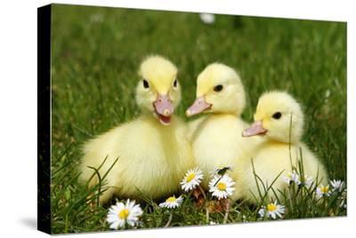 Three Domestic Ducklings, Germany