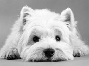 West Highland White Terrier by Steimer