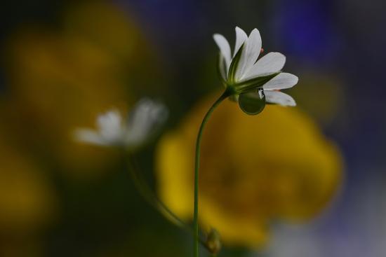 Stellaria Graminea-Heidi Westum-Photographic Print