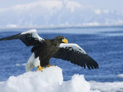 Stellars Sea Eagle, Wings Open About to Take-Off, Japan-Roy Toft-Photographic Print