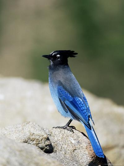 Steller's Jay (Cyanocitta Stelleri), Rocky Mountain National Park, Colorado-James Hager-Photographic Print