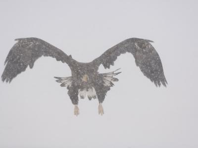 Steller's Sea Eagle Flying Through Snow, Kuril Lake, Kamchatka, Far East Russia-Igor Shpilenok-Photographic Print