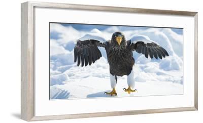 Steller's Sea-Eagle (Haliaeetus Pelagicus) Standing on Pack Ice, Hokkaido, Japan, February-Wim van den Heever-Framed Photographic Print