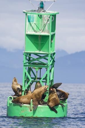 Steller Sea Lions on Buoy in Alaska