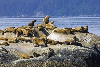 Steller Sea Lions on Haulout South Marble Island Glacier Bay National Park Southeast Alaska Summer-Design Pics Inc-Photographic Print