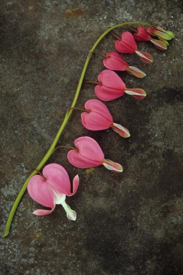 Stem of Pink and White Flowers of Bleeding Heart or Dicentra Gold Heart Lying-Den Reader-Photographic Print