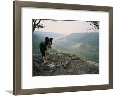 A Border Collie Stands on the Bluff at Ravens Point, Tennessee