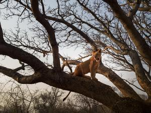 A Habituated Lion in Zambia by Stephen Alvarez