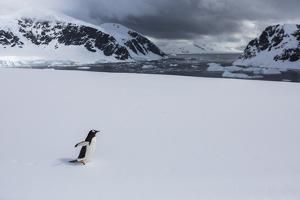 A Lone Gentoo Penguin Walks across Sea Ice Near the Shore by Stephen Alvarez