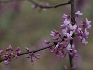Close View of Redbud Tree Blossoms by Stephen Alvarez