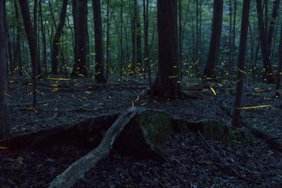 Common Eastern Fireflies, Photinus Pyralis, in the Forest at Twilight