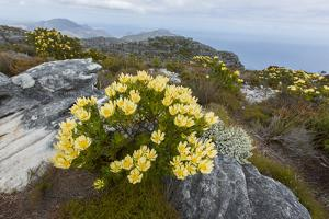 Cone Bushes Grow on Table Mountain, South Africa by Stephen Alvarez