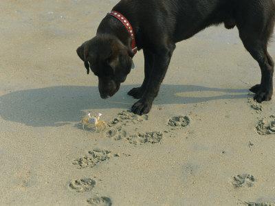 Crab Threatens a Curious Dog on the Beach near Duck