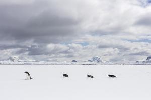 Gentoo Penguins Walk across Sea Ice by Stephen Alvarez