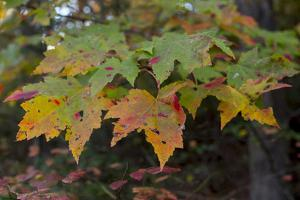 Maple Leaves Display their Vibrant Autumnal Colors by Stephen Alvarez