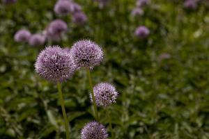 Pom-Pom-Like Purple Wildflowers in Bloom by Stephen Alvarez