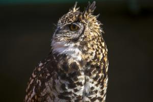 Portrait of a Spotted Eagle-Owl, Bubo Africanus by Stephen Alvarez