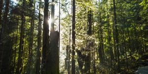 Sunlight Streams Through the Trees on the Way to Big Four Ice Cave, Washington by Stephen Alvarez