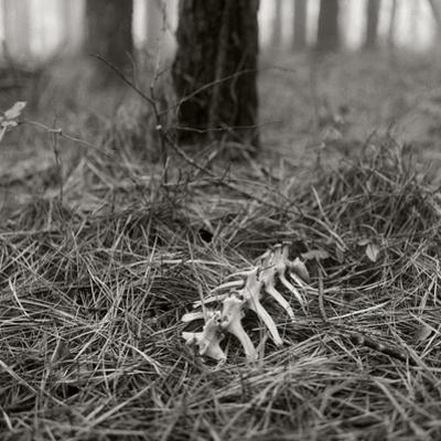 White-tailed Deer Bones Nestled in Pine Needles in a Foggy Forest by Stephen Alvarez