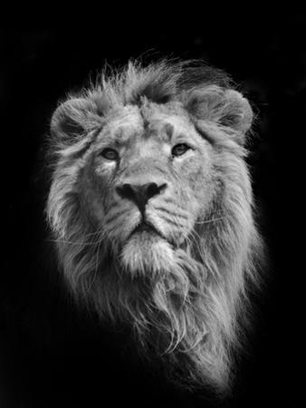 The King (Asiatic Lion) by Stephen Bridson Photography