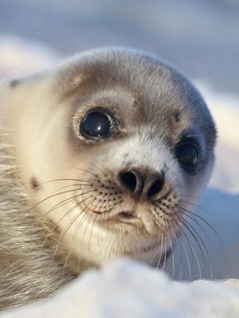 Young Harp Seal by Stephen Desroches