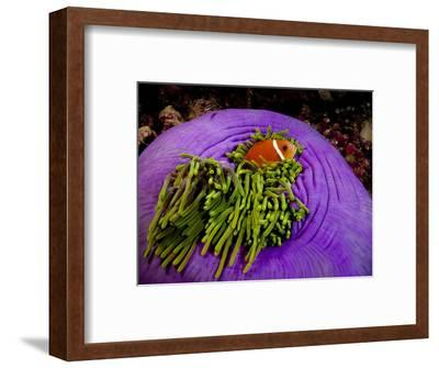 Anemonefish and large anemone