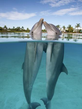 Atlantic Bottlenose Dolphins kissing