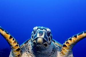 Green Turtle (Chelonia Mydas) by Stephen Frink