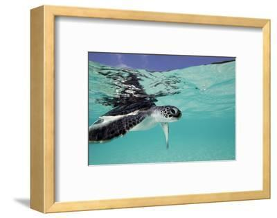 Juvenile Green Sea Turtle (Chelonia Mydas)