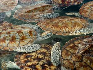 Juvenile Green Turtles in Captivity by Stephen Frink