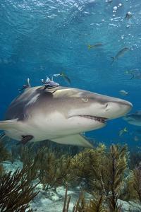 Lemon Shark in the Bahamas by Stephen Frink