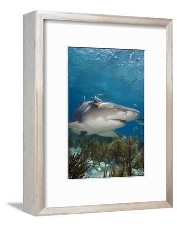 Lemon Shark in the Bahamas