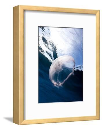 Moon Jellyfish (Aurelia Aurita).