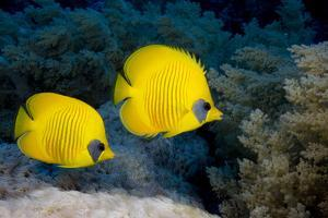 Pair of Blue Cheek Butterflyfish, Red Sea by Stephen Frink