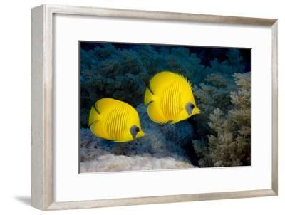 Pair of Blue Cheek Butterflyfish, Red Sea