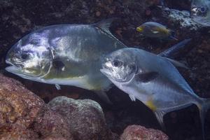 Pair of Permit (Trachinotus Falcatus) by Stephen Frink
