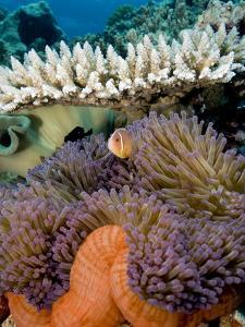 Pink Anemeonefish Peering from Tenticles of Magnificent Sea Anemone by Stephen Frink