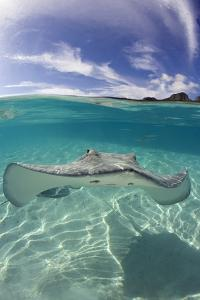 Tahitian Stingray in French Polynesia by Stephen Frink